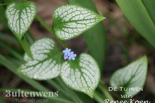 De-Tuinen-van-Renee-Koen-Brunnera-macrophylla-'Jack-Frost'