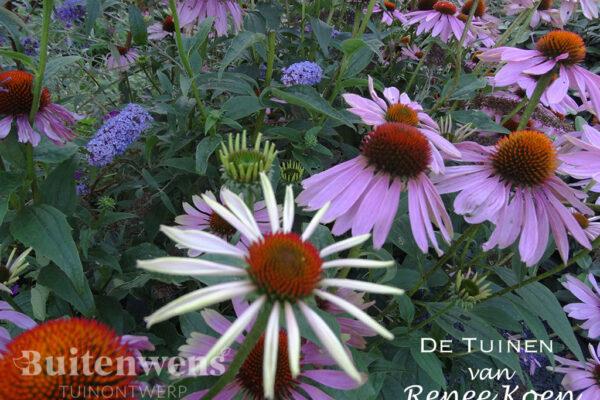 De-Tuinen-van-Renee-Koen-Echinacea-purpurea