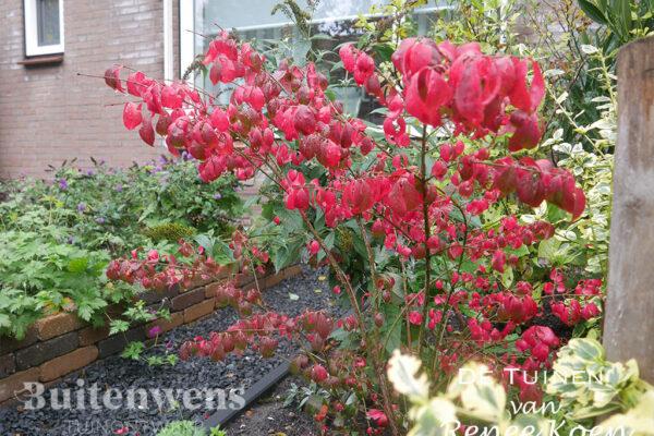 De-Tuinen-van-Renee-Koen-Euonymus-alatus-compactus