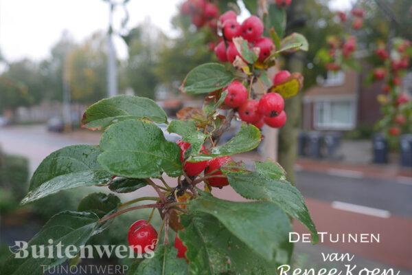 De-Tuinen-van-Renee-Koen-Malus-Red-Sentinel-Sierappel